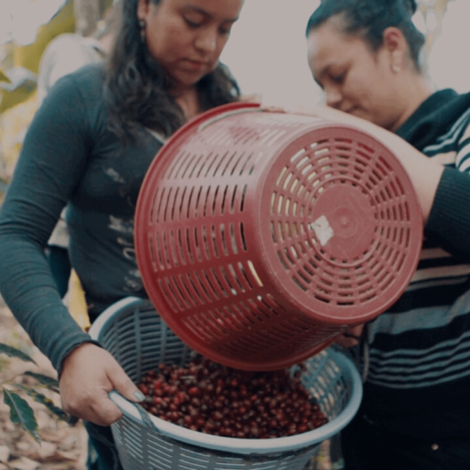 Harvesting Guatemalan Specialty Coffee